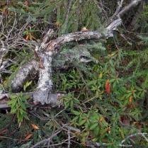 Thé du Labrador Certaines feuilles sont affolées devant l'engouement que l'homme développe pour les tisanes «tendances». Du coup, elles se déguisent en piment fort dans l'espoir qu'on les ignore...